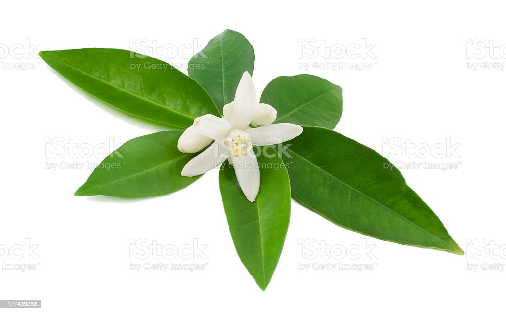 White glower with green leaves isolated on white background stock photo