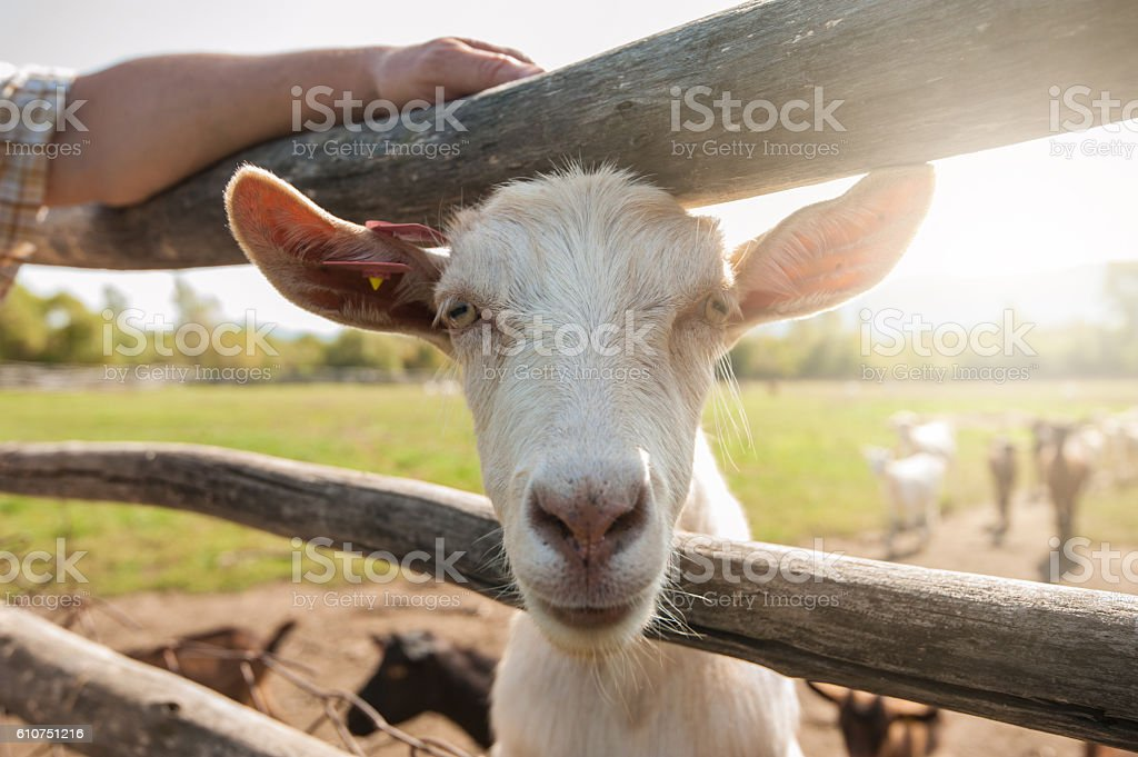 white goat closeup stock photo