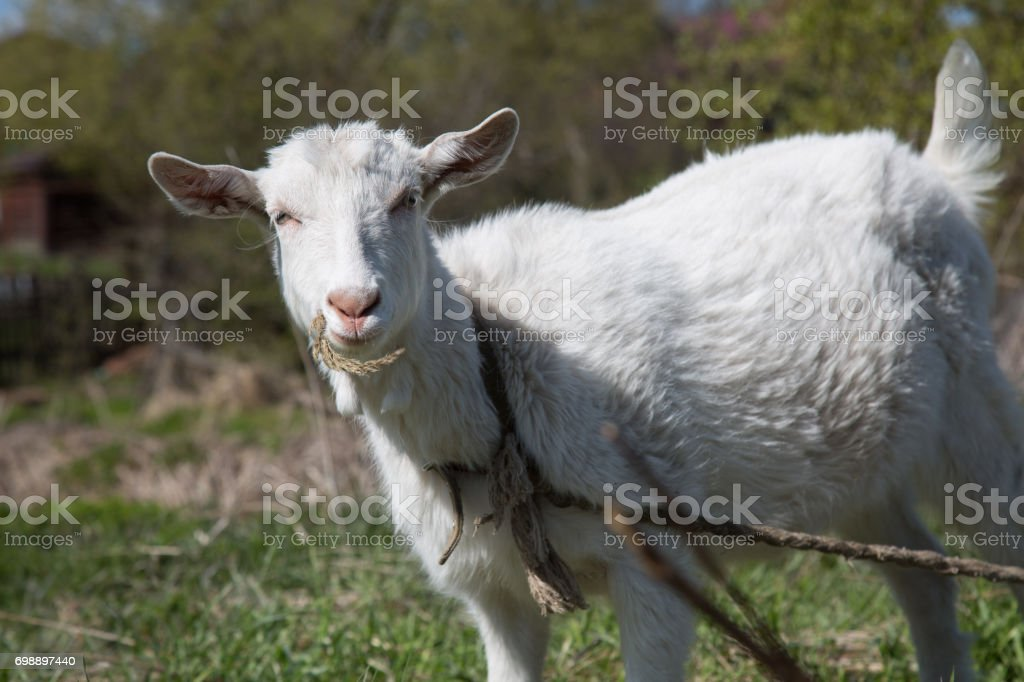White goat holding herb looking at camera stock photo