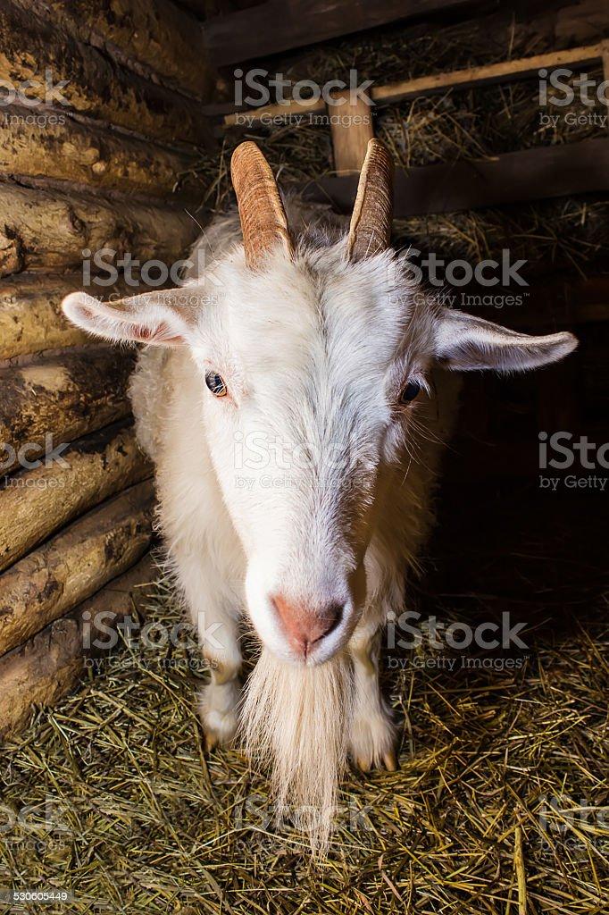 Cabra blanco en una barn foto de stock libre de derechos