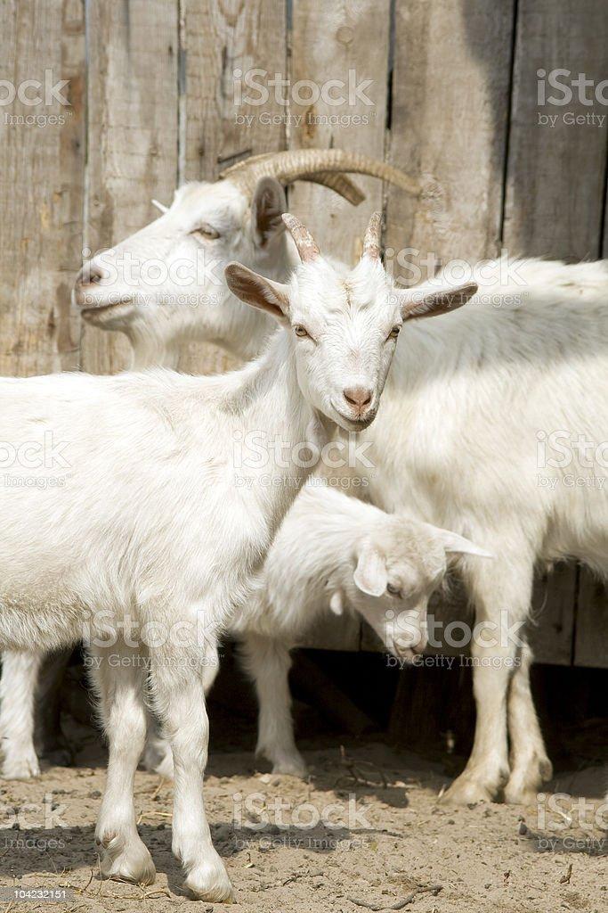 White goat in herd. royalty-free stock photo