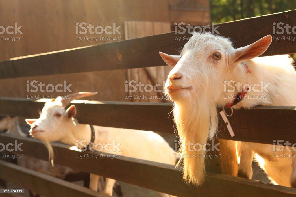 white goat in paddock stock photo