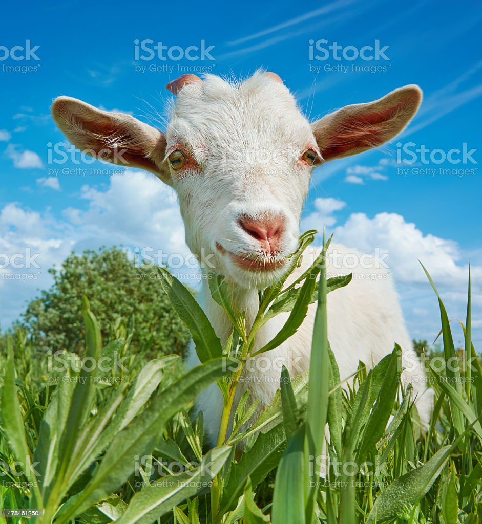 White goat in the pasture stock photo