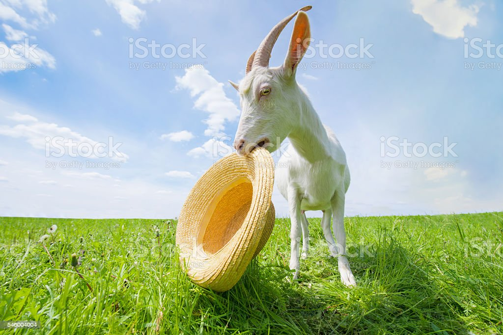 White goat on a green meadow with a straw hat stock photo
