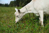 white goat on the meadow eating green grass