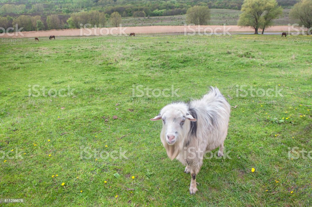 white goat on the meadow stock photo