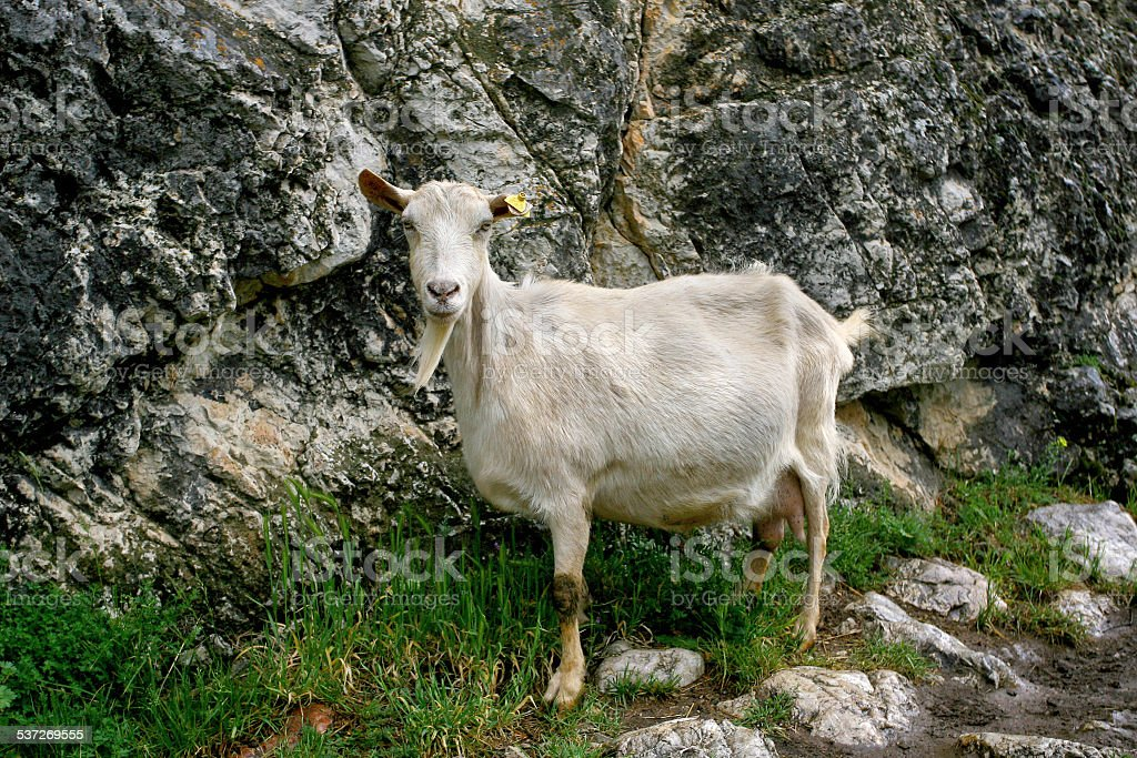 White goat out to pasture in the mountains stock photo