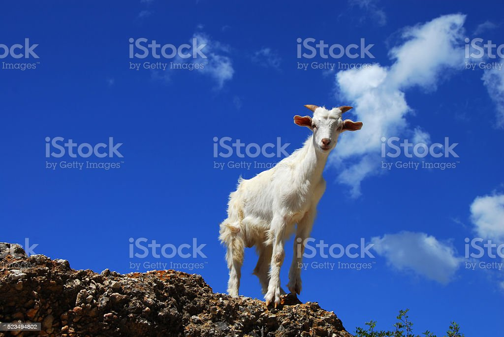 White goat over blue sky stock photo