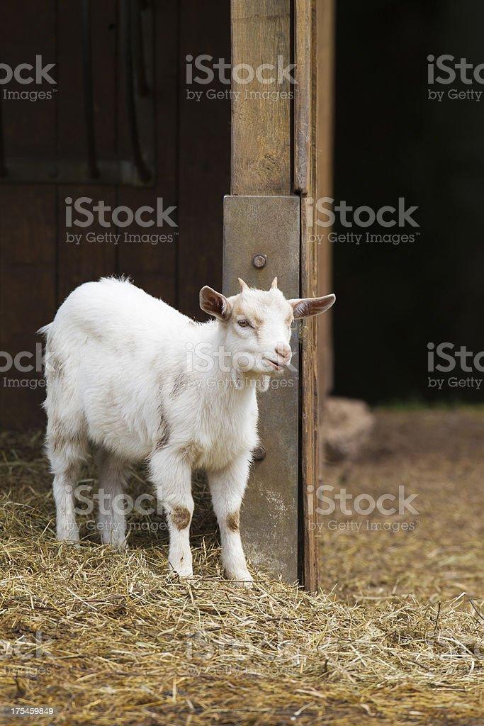White goat royalty-free stock photo