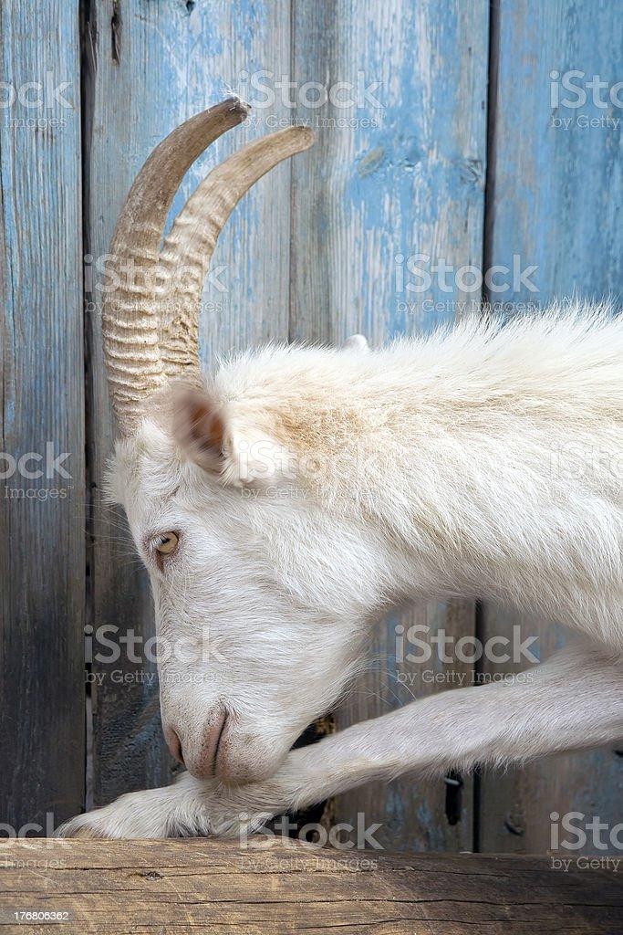 White goat. royalty-free stock photo
