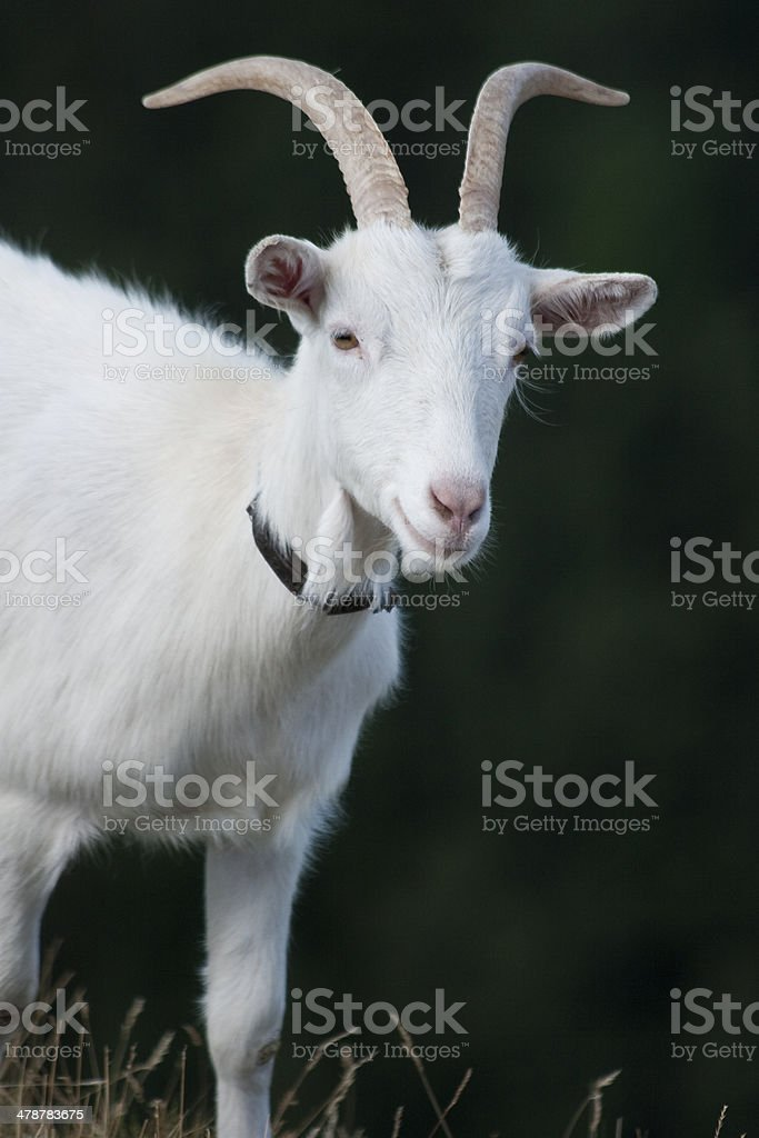 White goat royalty-free stock photo