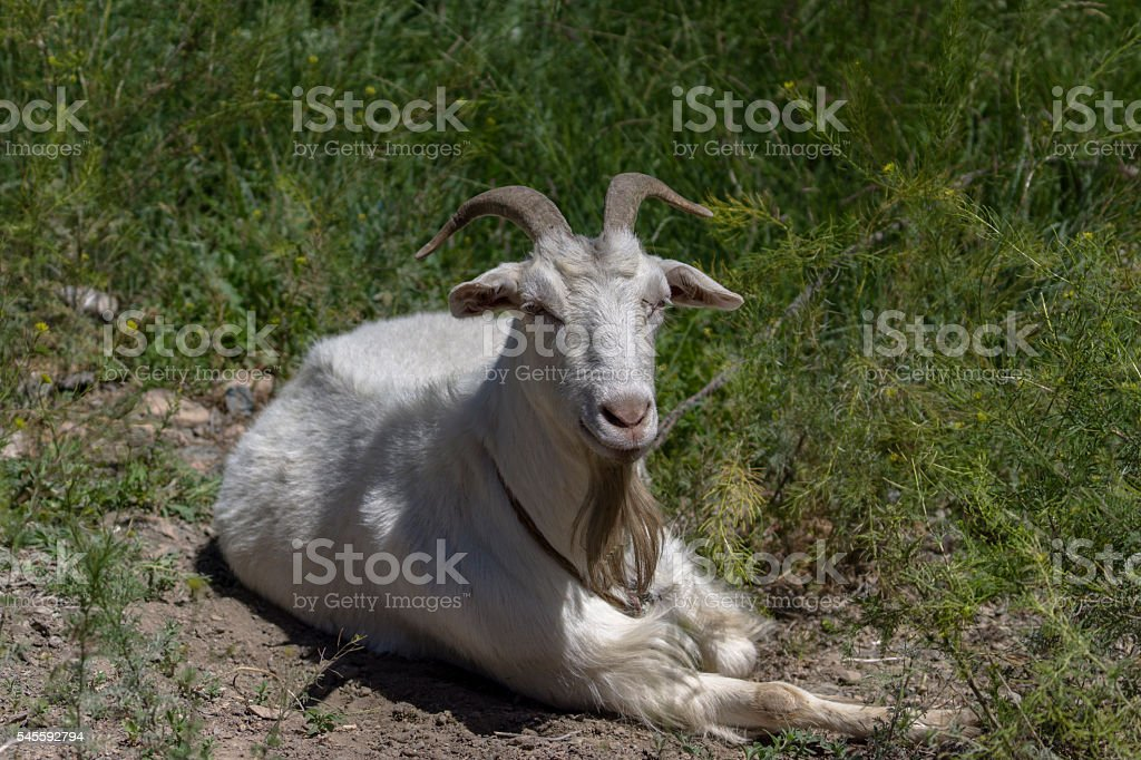white goat resting on grass stock photo