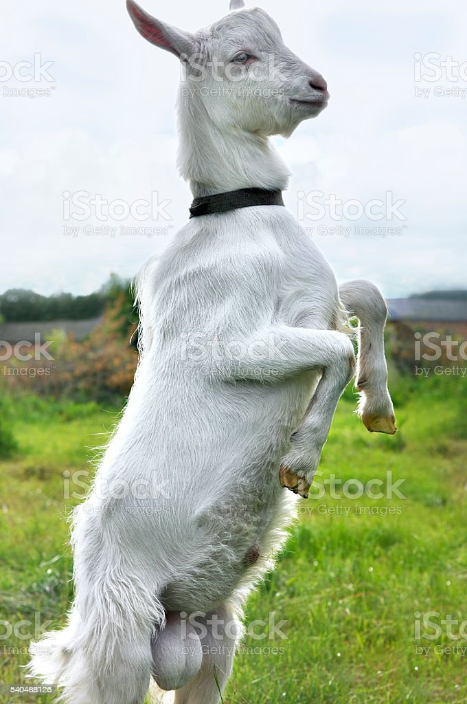 White goat standing on hind legs stock photo