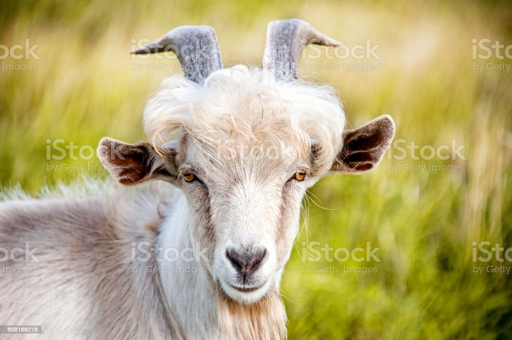 white goat with big horns closeup on green blurry background stock photo