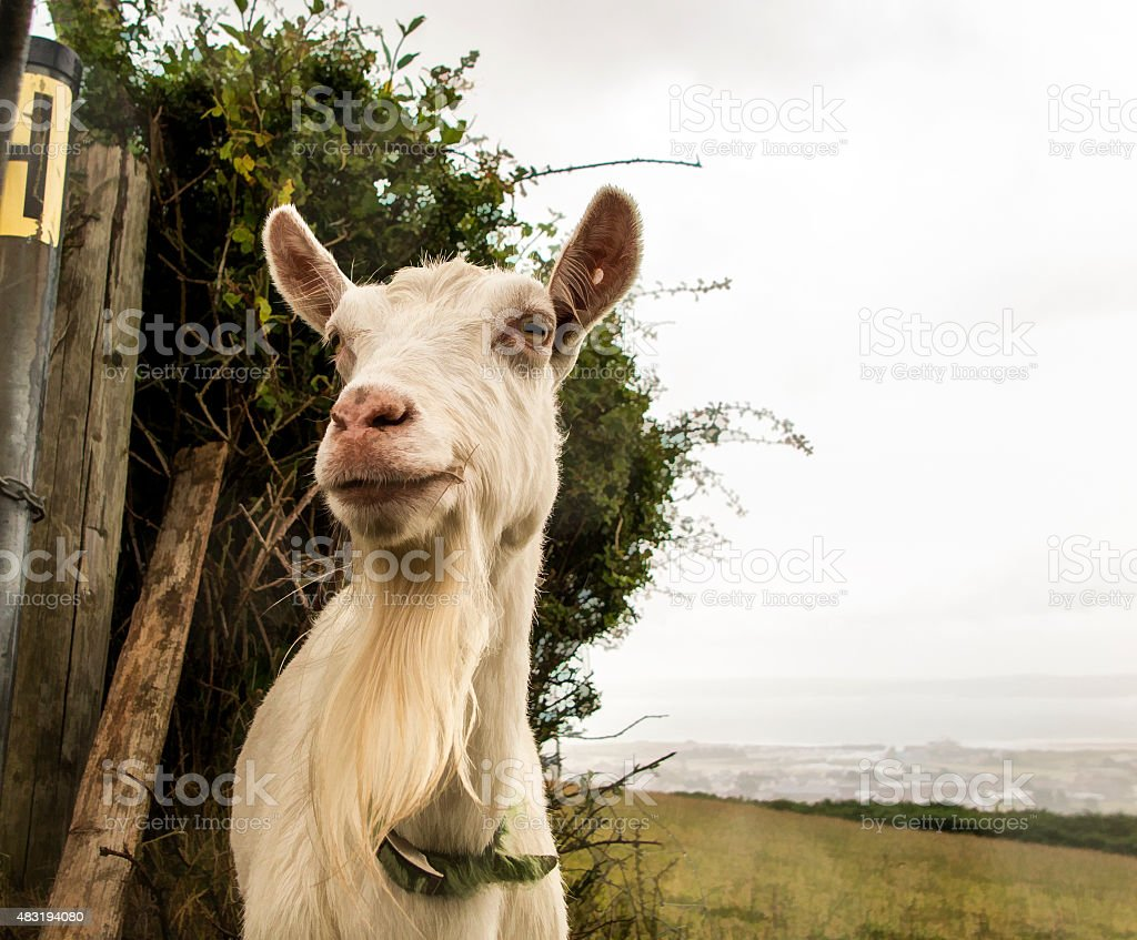 white goat with collar stock photo