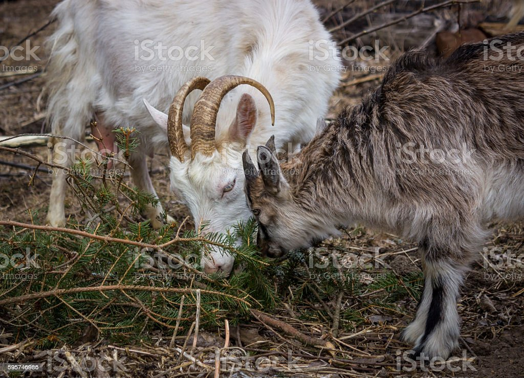 White goat with young stock photo