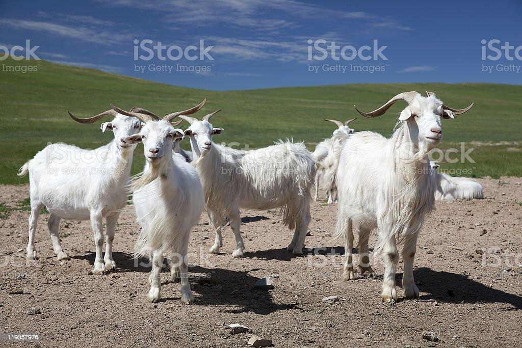 white goats royalty-free stock photo