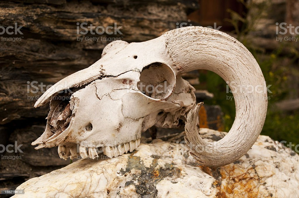 White goats skull with curly horns royalty-free stock photo