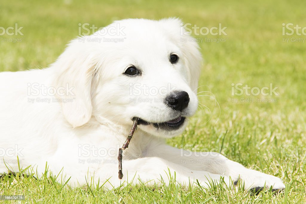 White Golden puppy chewing royalty-free stock photo
