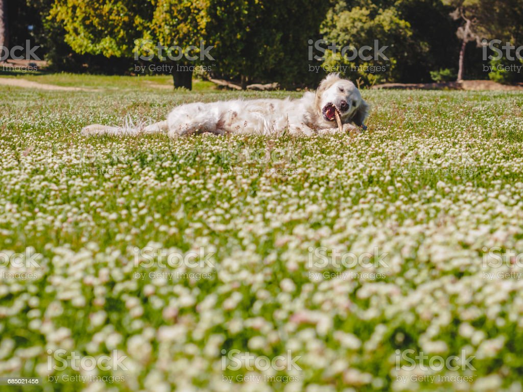 White golden retriever playing on a white flowered grass stock photo