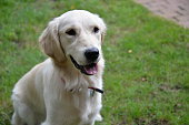 White Golden Retriever Playing Outdoors