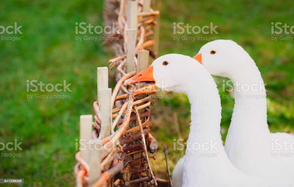White goose biting a fence stock photo