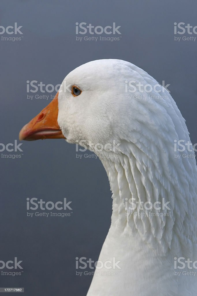 White Goose Head 1 royalty-free stock photo