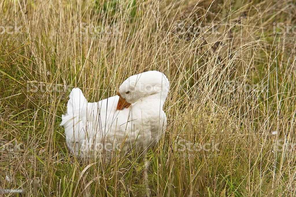 White goose in grass stock photo