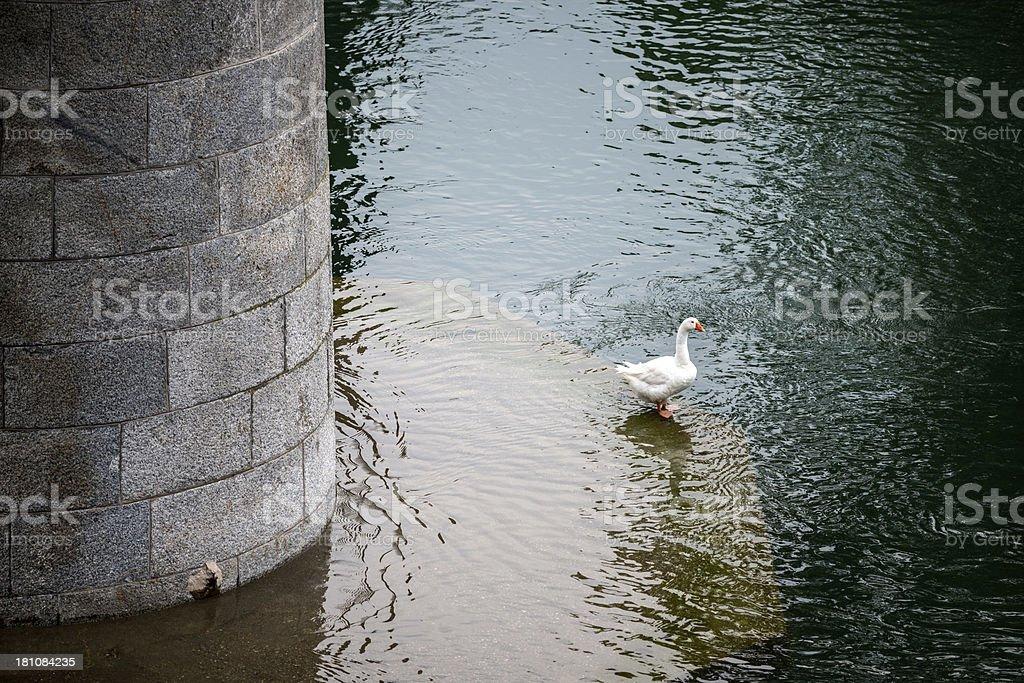 White goose in river water under bridge stock photo