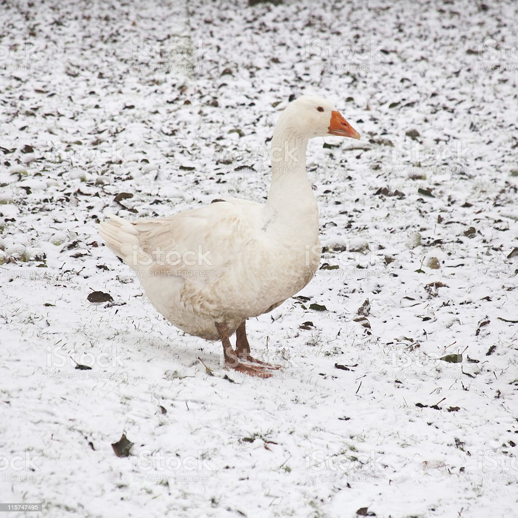 White goose in the snow stock photo