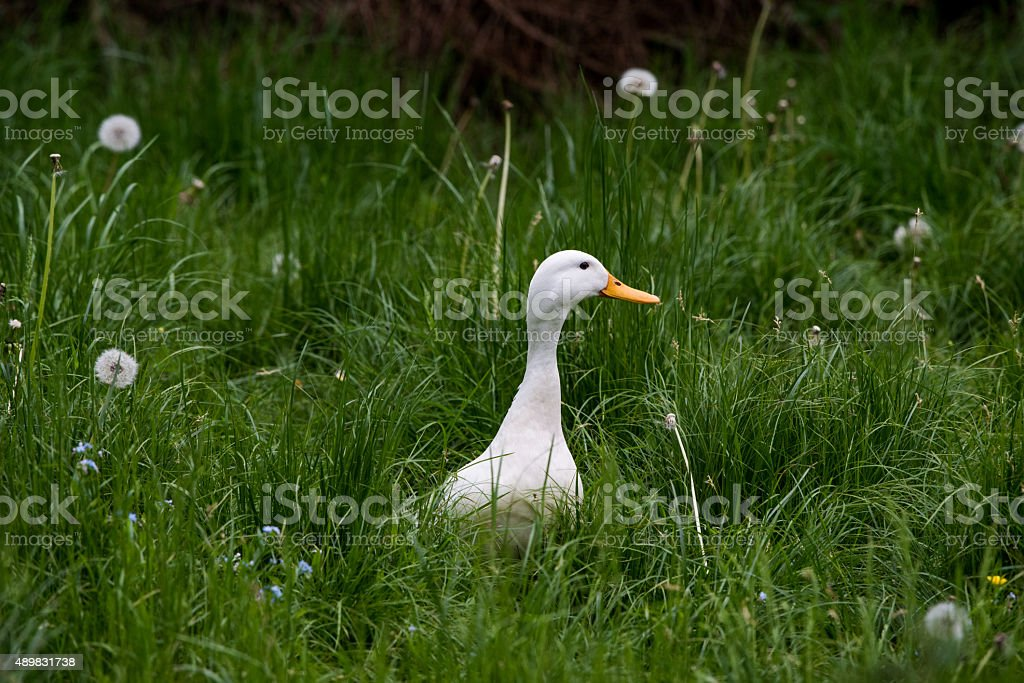 White goose stock photo