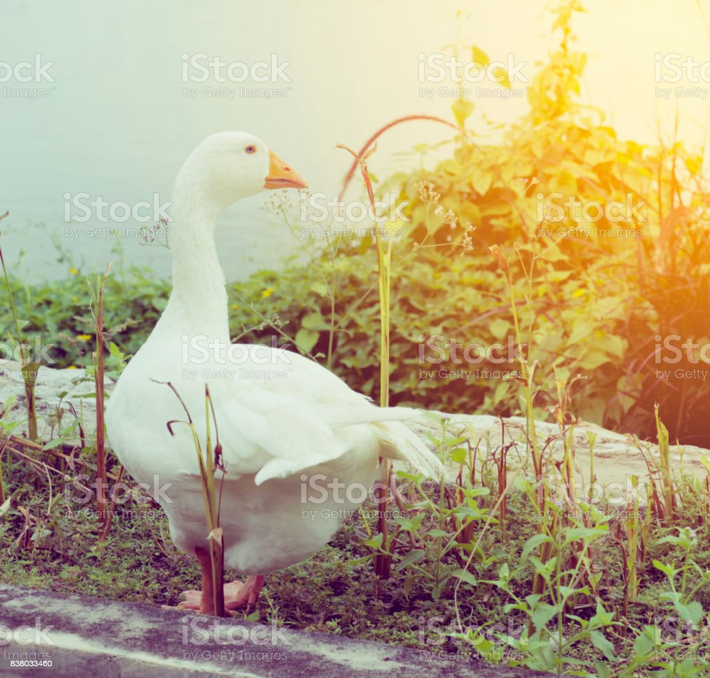 White goose standing on the water in the summer. stock photo