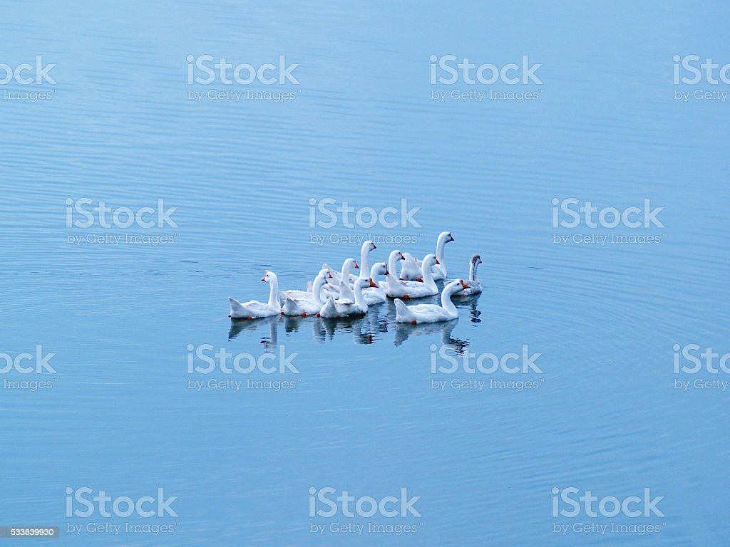 White gooses swimming in calm lake stock photo