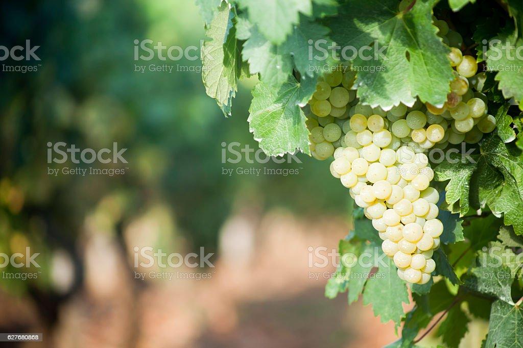 White grape bunch in vineyard stock photo