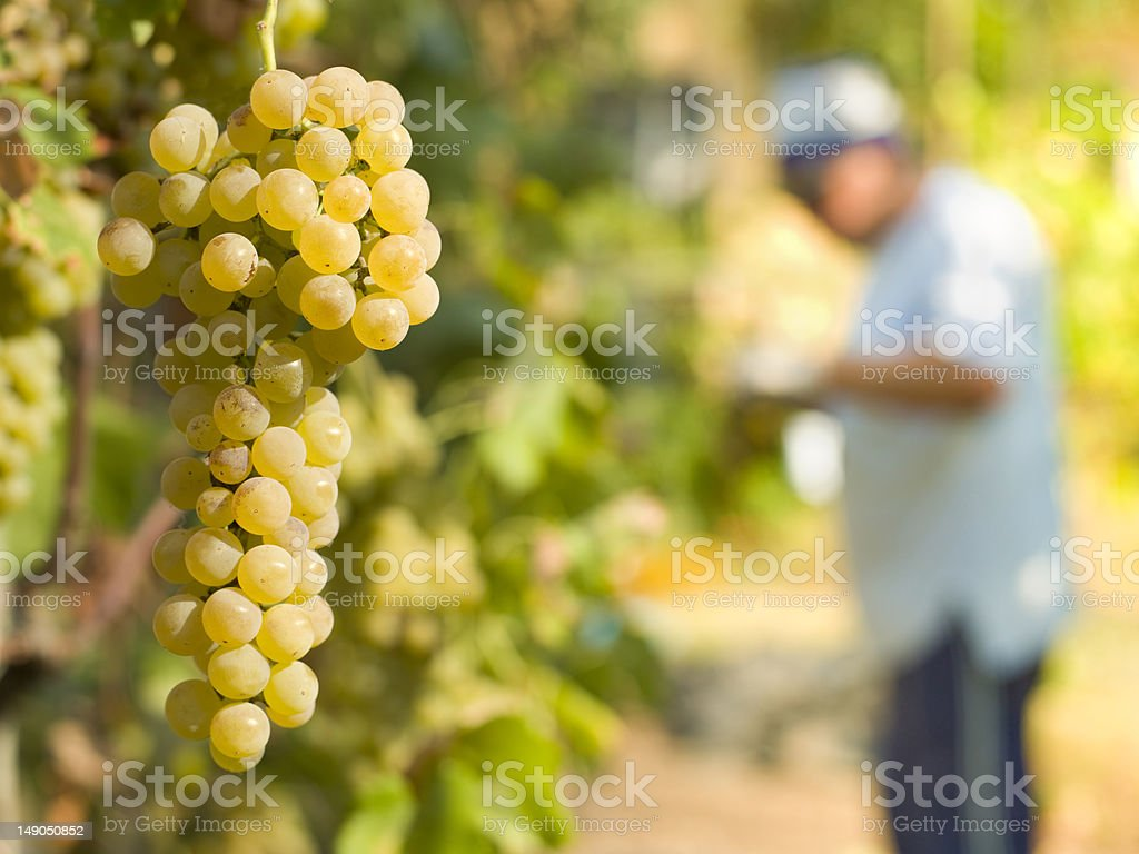 white grape harvest stock photo