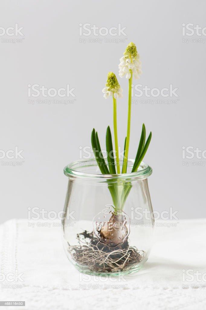 White grape hyacinth flowers in jar. stock photo
