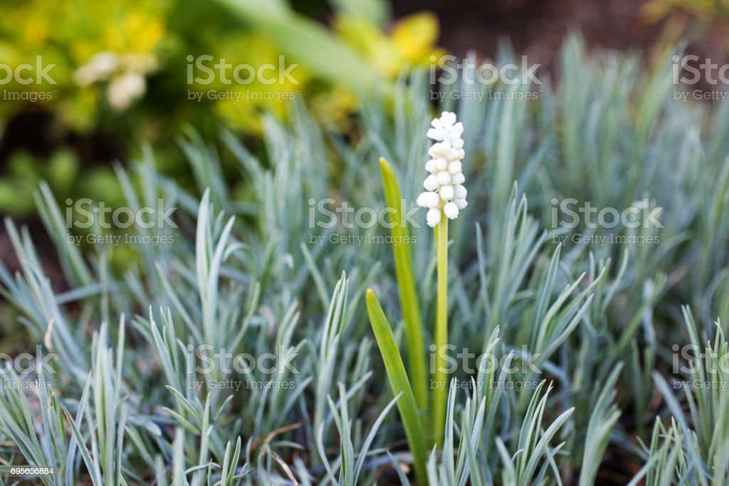 White Grape Hyacinths - Muscari botryoides album in bloom in the garden. Selective focus. stock photo