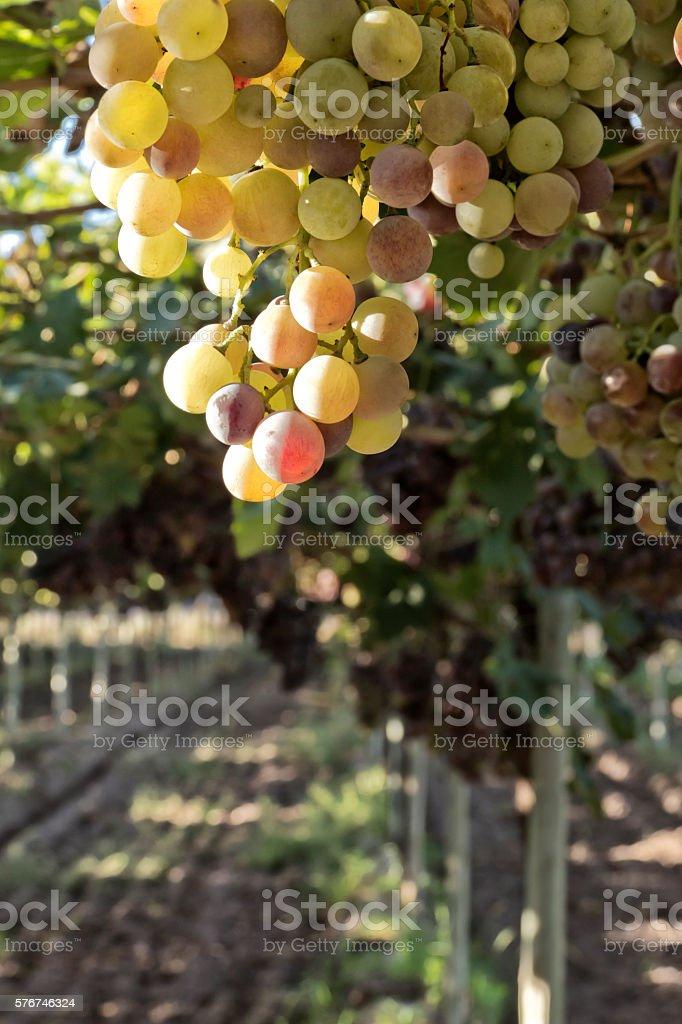 White grape in vineyard stock photo