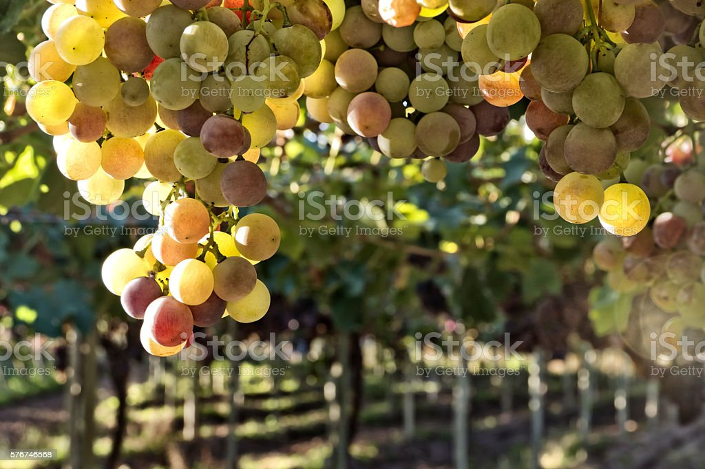 White grape in vineyard stock photo