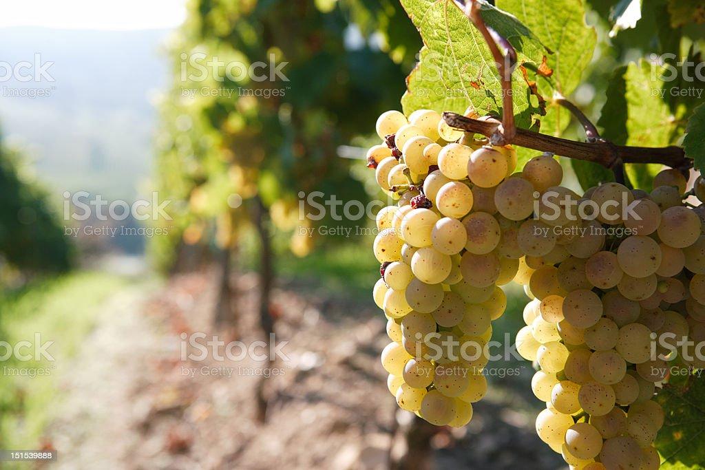 white grape on the vine, back lit, vineyard in background stock photo