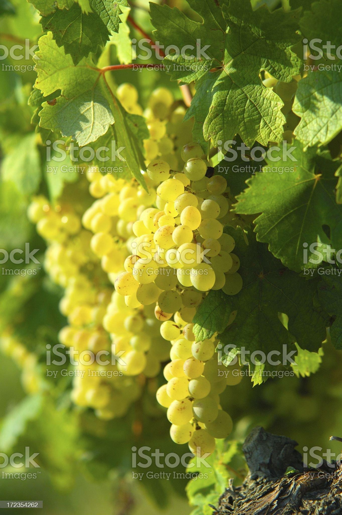White grape royalty-free stock photo