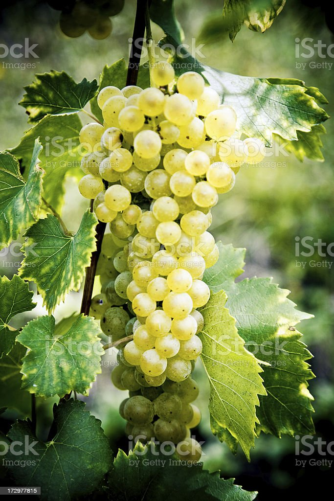 White grape royalty-free stock photo