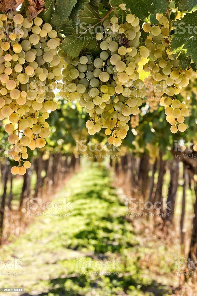 White grape stock photo