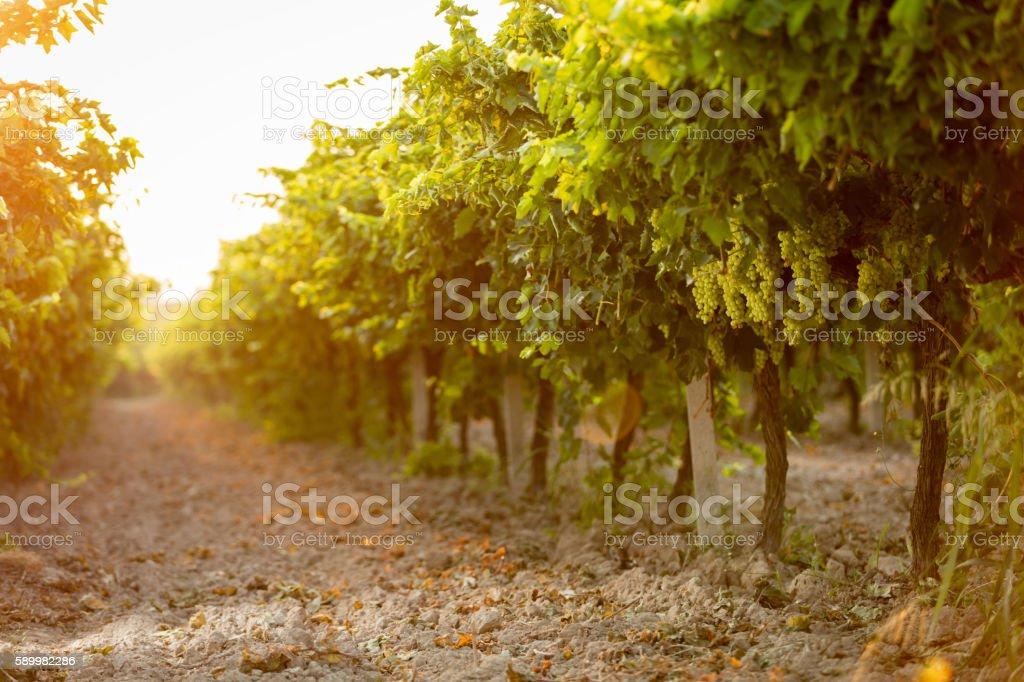 White Grape Vineyard stock photo