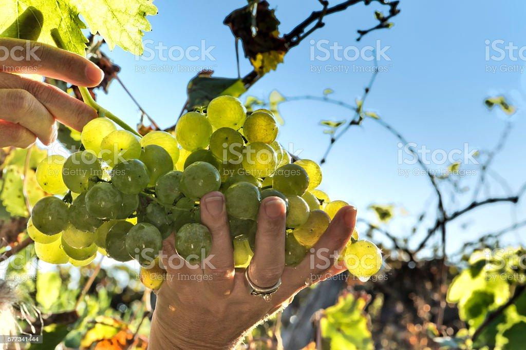 White grapes control stock photo