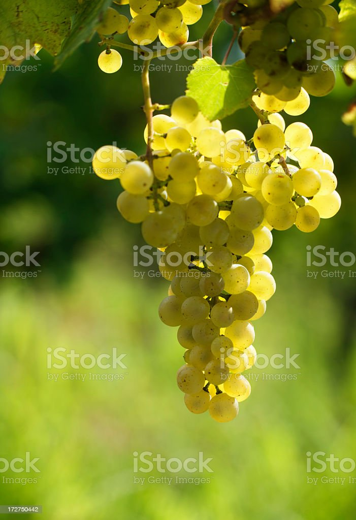 White grapes hanging off a grapevine royalty-free stock photo