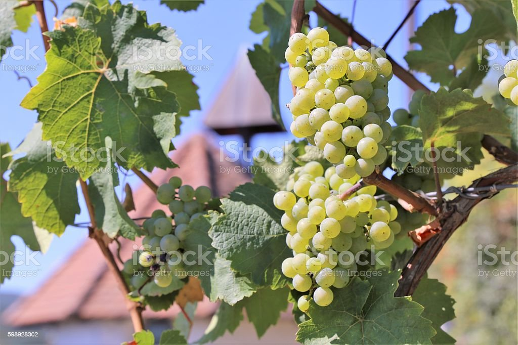 White grapes in a vineyard stock photo