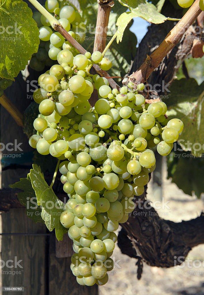 White Grapes in Napa Valley California royalty-free stock photo