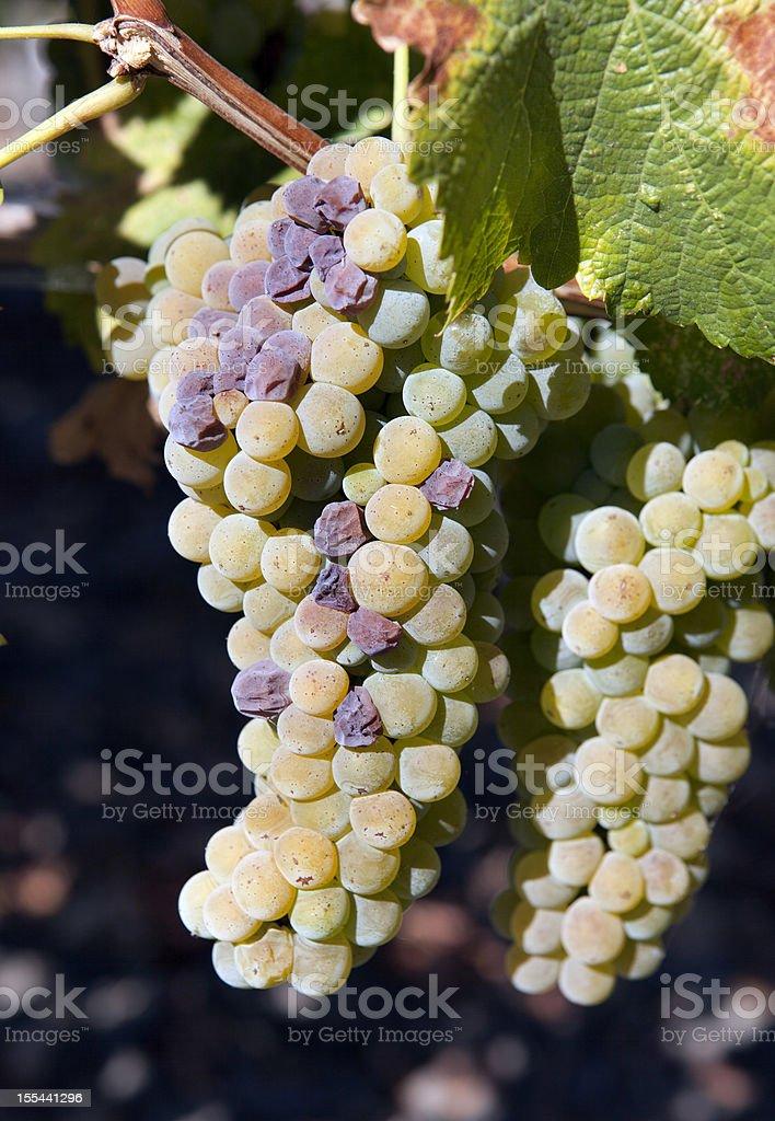 White Grapes in Napa Valley Vineyard royalty-free stock photo