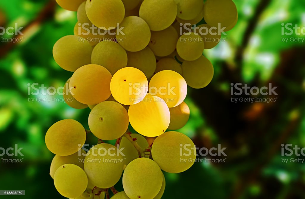 white grapes in the shade royalty-free stock photo